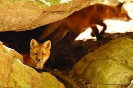 Fox Den by Scott Joshua Dere