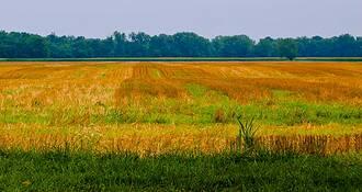 Wheat Field by Iva Nash