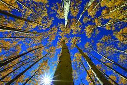 Aspen Canopy by Jeff Clay
