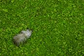 Goosedown and Duckweed by Mat Brutger