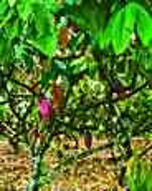 Cocoa Field by Seta Karabadjian