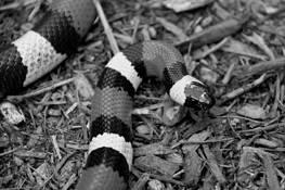 Pueblan Milk Snake by Scott Prior
