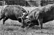 Cow Fights 3 by Richard Tucker