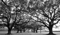 Oak Trees by Cliff Derbins