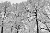 Snowy Limbs by Roy Money