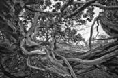 Tangled Branches by Mary Goodrich