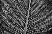 Big Green Leaf by Paul Hetzel
