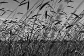 Grasses by Linda Koopman