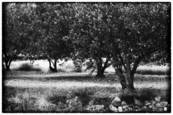 Olive Trees by Susan Gendron