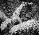 Christmas Fern No 1 by Edward Klostermann