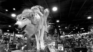 Wolf Running by Dan Plunkett