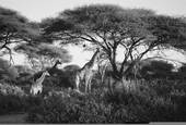 Giraffes by Scott Harbourt