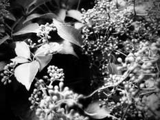 Ivy Berries by Nancy Abens