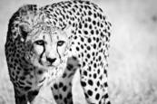 Cheetah V by Beth Wold