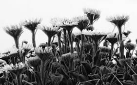 Seaside Daisies by Eduaro Fujii