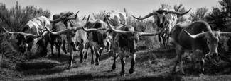 Longhorns by Roberta McGowan