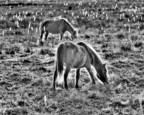 Assateague Ponies Grazing by Ron Hugo