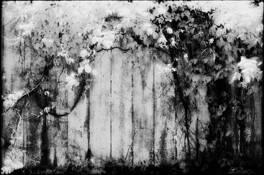 Vines on Barn by James Cingone