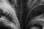 Cycad by Scott Hoyle