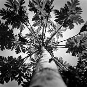 Papaya Tree by Youthana Kongsomboon