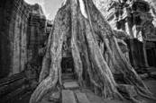 Silk Cotton Roots Angkor Wat 2012 by R. Scott Taylor