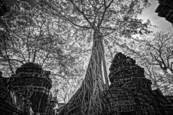 Stangler Fig 2 Angkor Wat 2012 by R. Scott Taylor