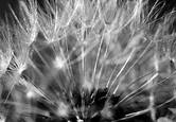 Dandelion by Joshua Steven Lasinski