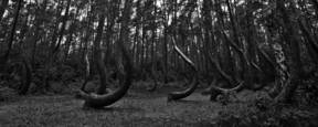 Crooked Forest by Adam Plucinski