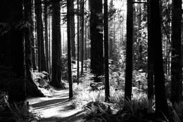 Light through the Forest by Amanda Douglass