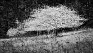 White Tree by George Lee