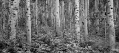 Aspen Grove by John L. Rodman