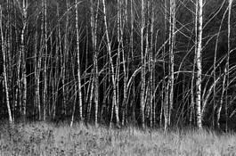 Birch Forest by Rajmund Rajch