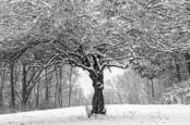 Center Stage Winter Tree by Thomas J. Conroy