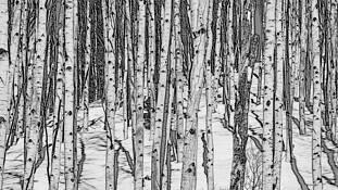 Aspen Profusion by Bernard Werner