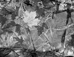 Frozen Leaves by Lawrence Hamel-Lambert