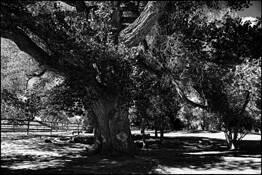 Cottonwood by Al Benas