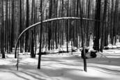 Burned Forest Blanketed in Snow-The Rim Fire by Debra Small