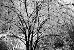 Iced Tree by Stephen Bitel