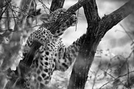 Climbing Leopard by Bob Bader