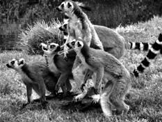 Ring Tailed Lemurs by Bob Bader