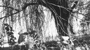 Willow Tree by Cristina Ellis