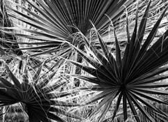Fan Palm by Ernesto Beall