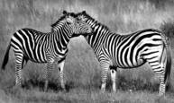 Zebra Manes by Larry Colby