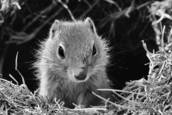 Young Uinta Ground Squirel by Marcia S. Fowler