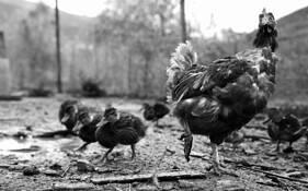 Farm Life by Sorin Costache
