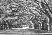 Canopy of Oaks 1 by John Gribbin