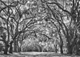 Canopy of Oaks 3 by John Gribbin