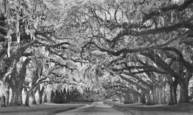 Canopy of Oaks 4 by John Gribbin