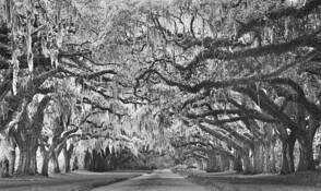 Canopy of Oaks 4 by John Gribbin