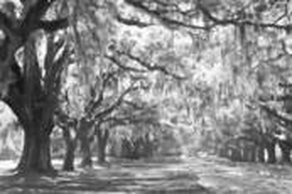 Canopy of Oaks 6 by John Gribbin
